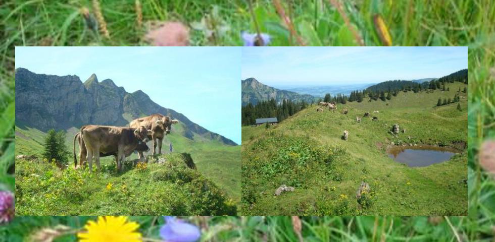 Urlaub Braunvieh