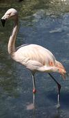 Tierpark Haag - Flamingo - Haag Niederoesterreich